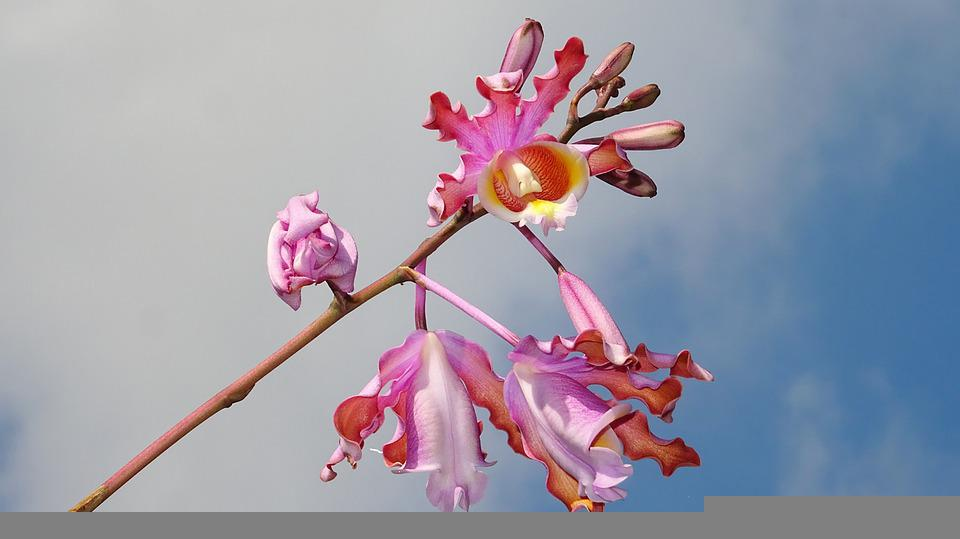 Schomburgkia, Flowers, Branch, Orchids, Pink Flowers