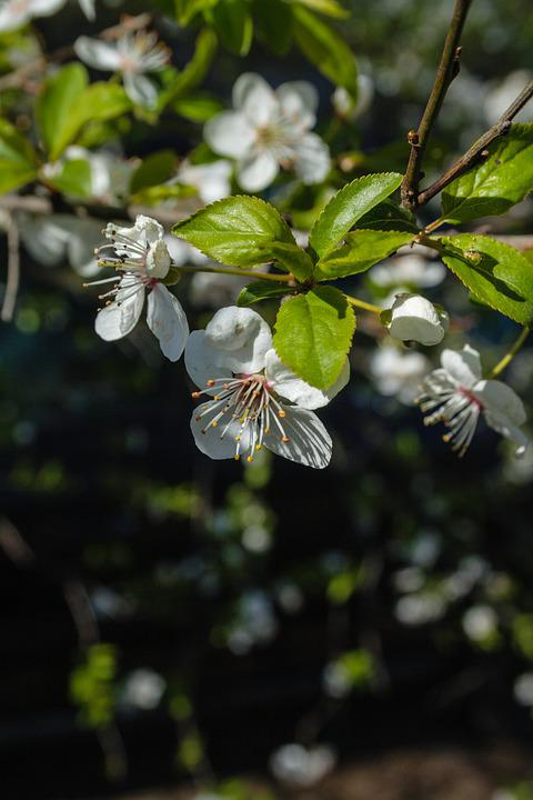 Flowers, Bud, Trees, Branches, Leaves, Stamens, Bunch