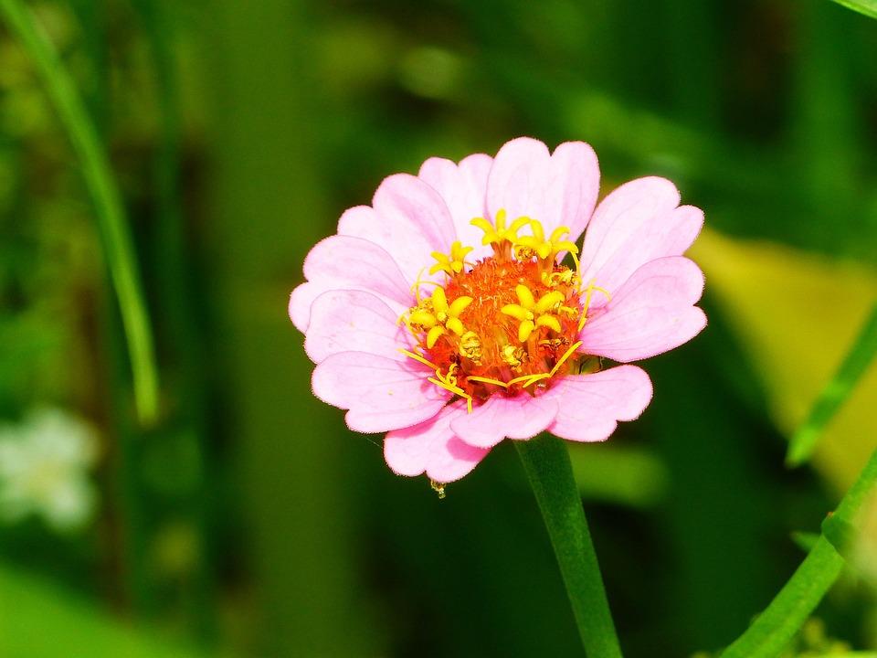 Zinnia, Flower Meadow, Bright, Noble, Flowers