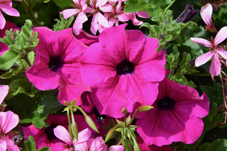 Petunia, Flowers, Bright Pink, Nature, Garden