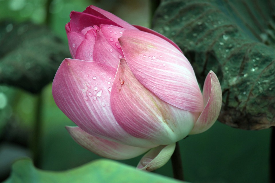 Free photo flowers buds pink lotus blooming petals opening max pixel lotus flowers pink blooming buds opening petals mightylinksfo