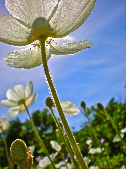 Flowers, White, Buds, Blåhimmel, Summer