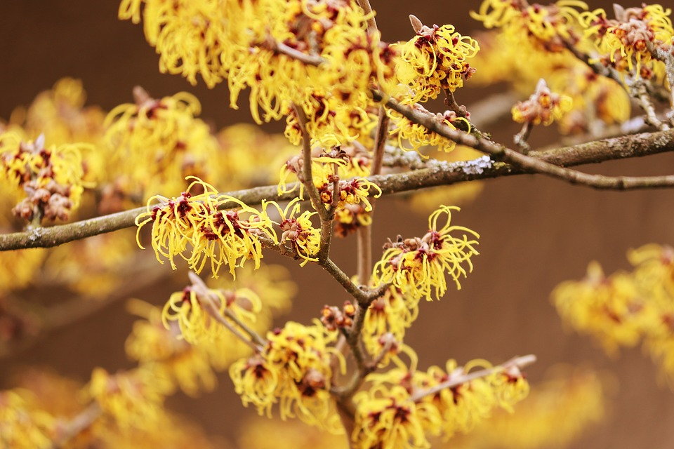 Witch Hazel, Winterblueher, Bloom, Bush, Flowers