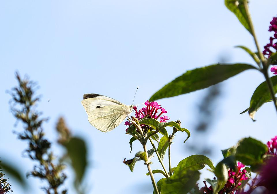 Cabbage White Butterfly, Butterfly, Flowers
