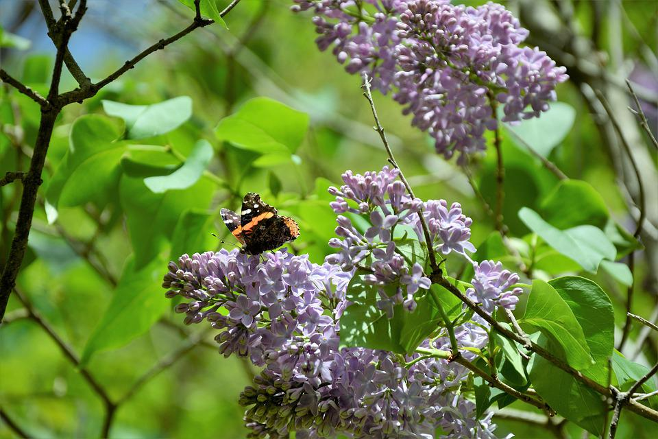 Lilac, Flowers, Bloom, Butterfly, Pollen, Nectar