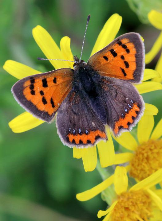 Small Copper, Butterfly, Flowers, Pollination
