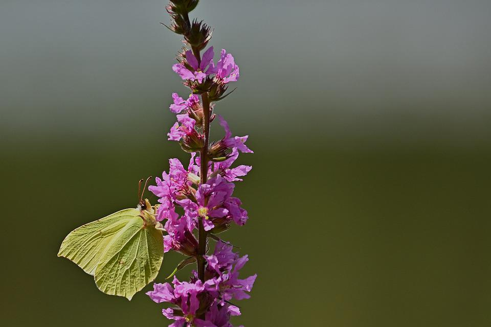 Gonepteryx Rhamni, Butterfly, Flowers, Sprinkle