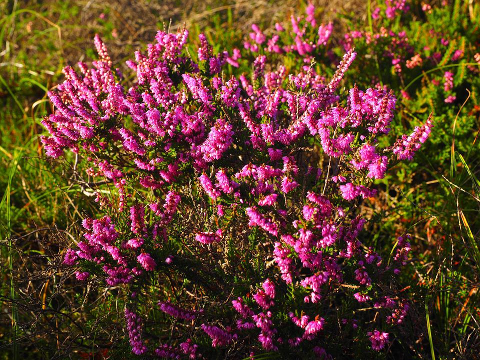 Calluna Vulgaris free photo flowers calluna vulgaris pink heide max pixel