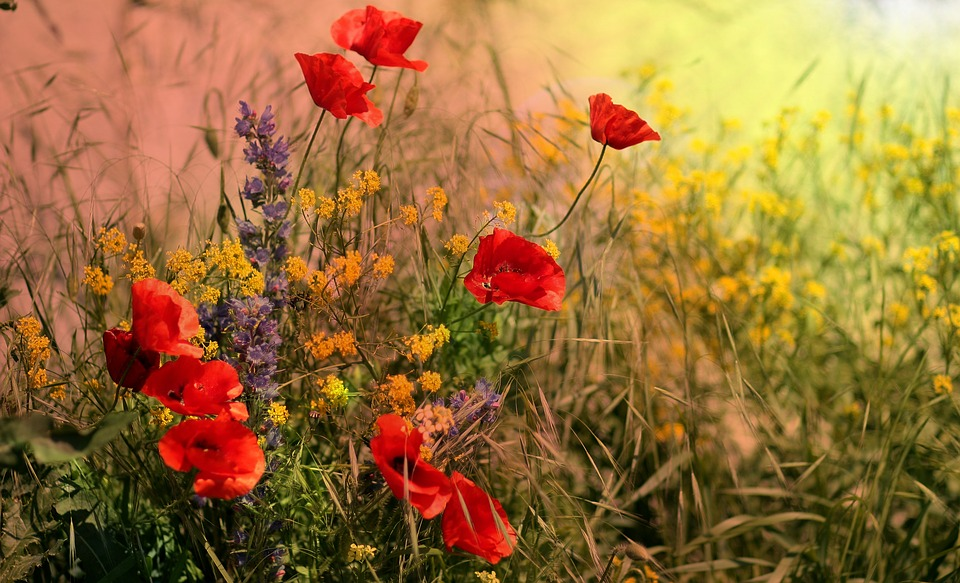 Poppies, Camp, Red, Flowers, Wild