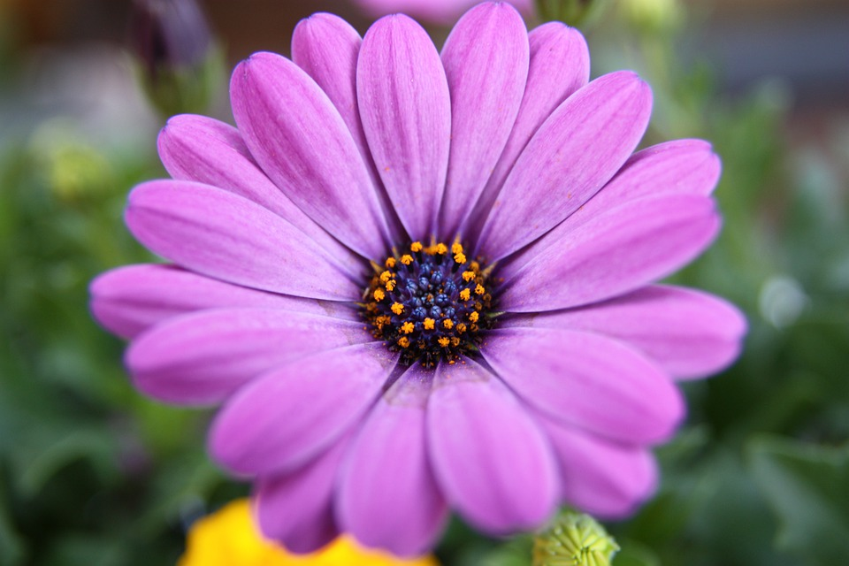 Purple, Cape Basket, Flowers, Purple Flower, Blossom