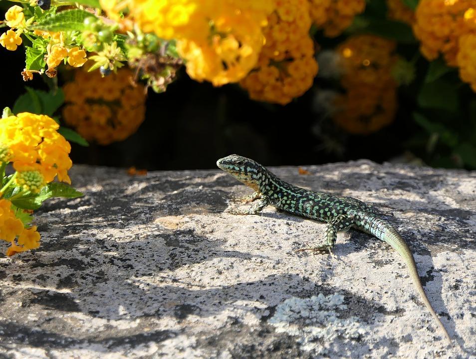 Lizard, Flowers, Green, Rock, Sun, Careful, Hot, Animal