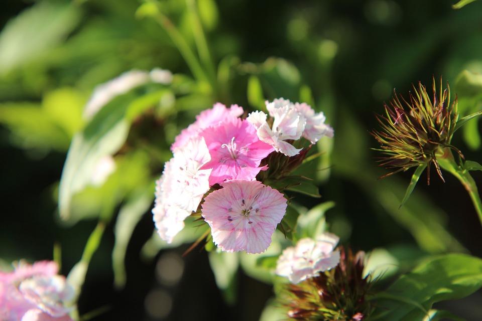 œillet, Sweet William, Flowering, Carnations, Flowers