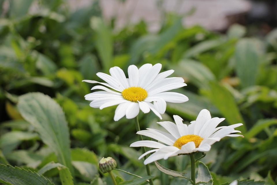 Chamomile, Guess, Flowers, Field, Bloom, Flower