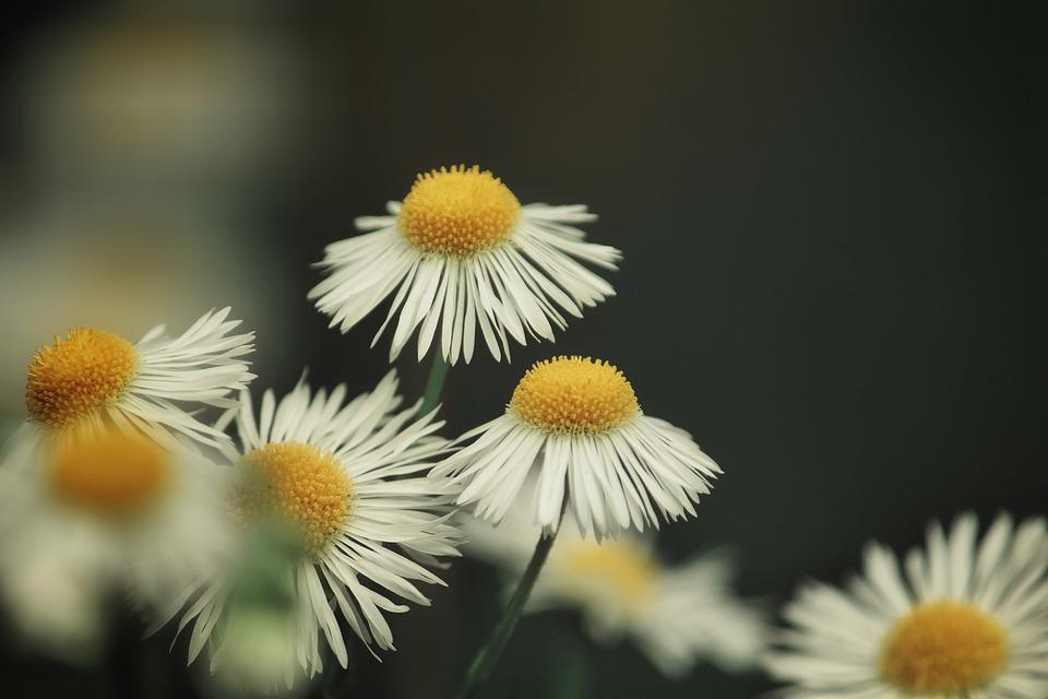 Chamomile, Flowers, Daisies, Petals, White Petals