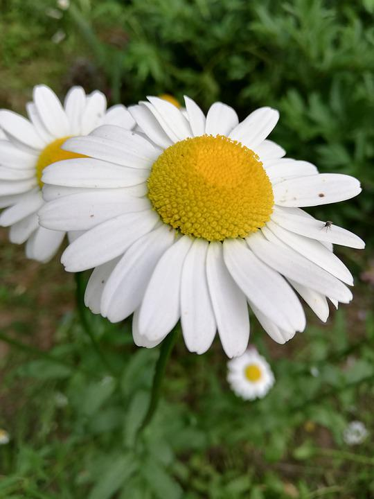 Chamomile, Flowers, White, Day, Petals, Nature