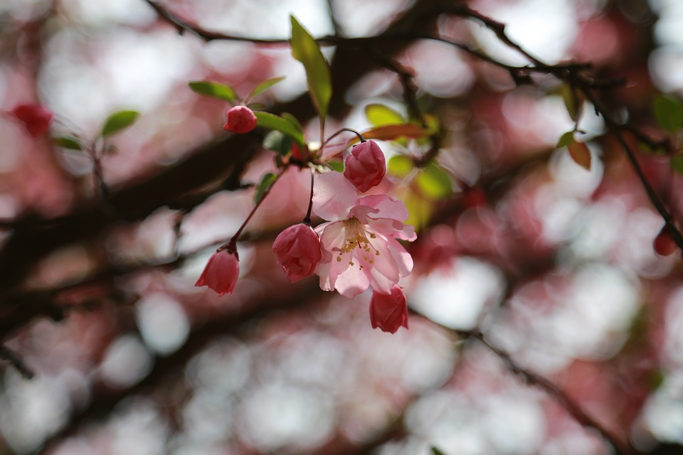 Cherry Blossom, Cherry Tree, Cherry Flowers, Flowers