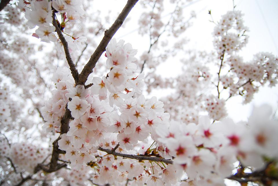 Free Photo Flowers Cherry Blossom Republic Of Korea Spring Max Pixel