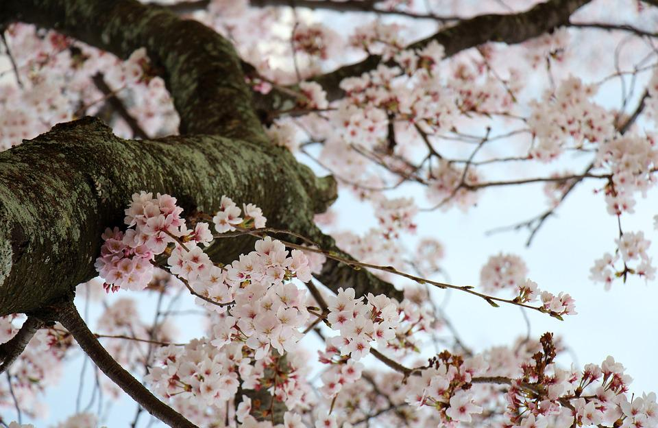 Cherry Blossom, Flowers, Spring, White, Nature