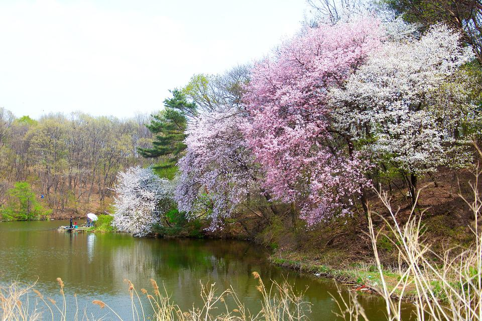 Wood, Flowers, Nature, Lake, Cherry Blossom, Landscape