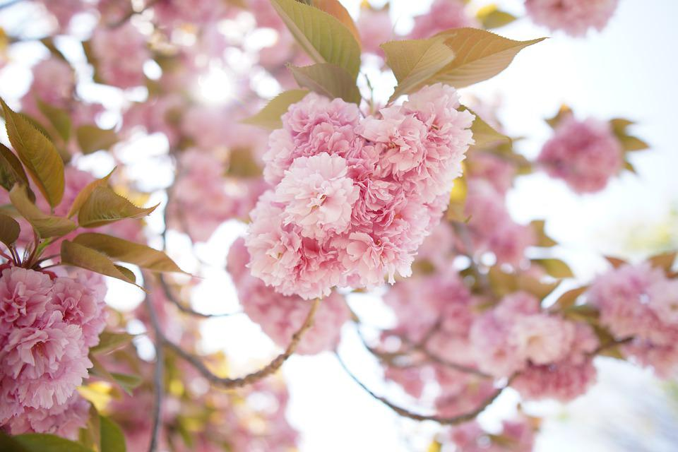Cherry Blossoms, Flowers, Spring