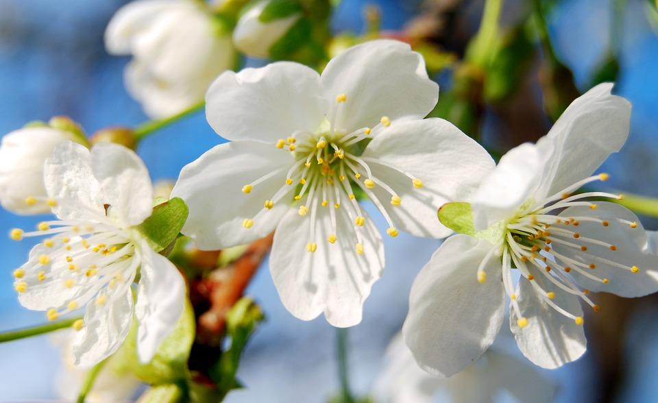 Spring, Flowers, Cherry Blossoms, Flower, Tree