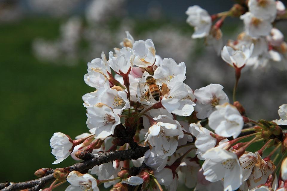 Cherry Flowers, Spring Flowers, April, Flowers, Sakura