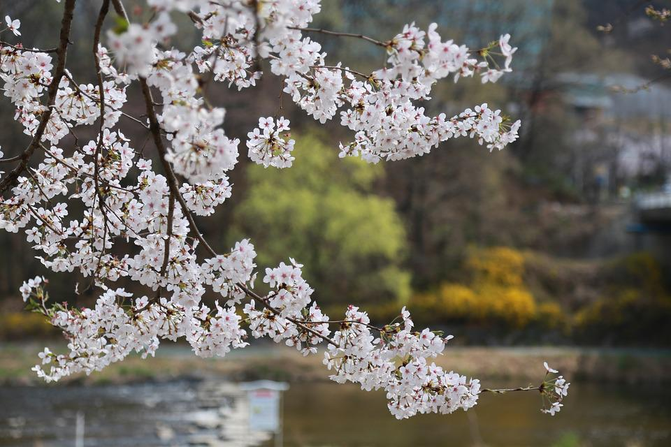 Flowers, Cherry Tree, Cherry Blossom, Cherry Flowers