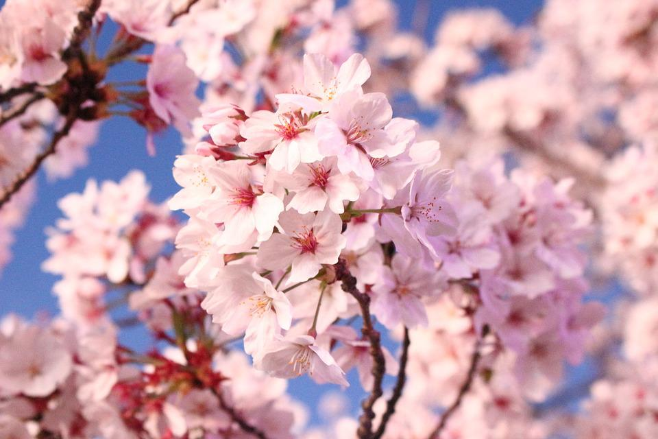 Cherry Blossom, Flowers, Cherry Tree, Quarter, Nature