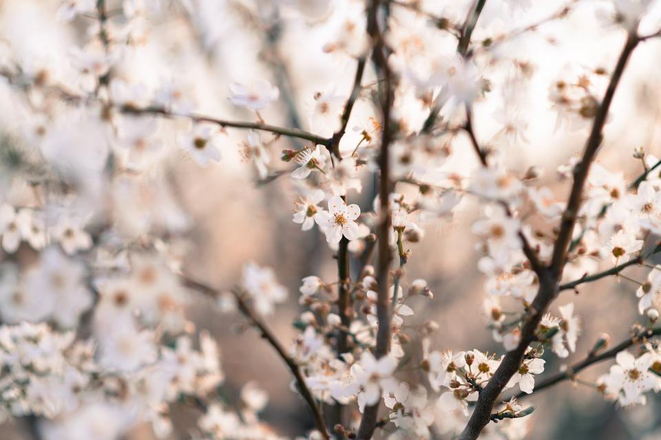 Nature, Flowers, White, Cherry, Pučanie, The Puck, Tree