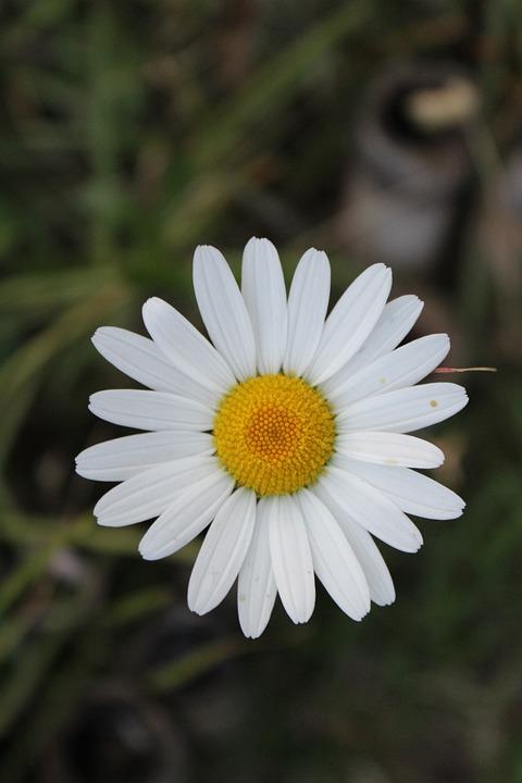 Free photo flowers chrysanthemum white flower white flowers max pixel white flower white flowers chrysanthemum flowers mightylinksfo