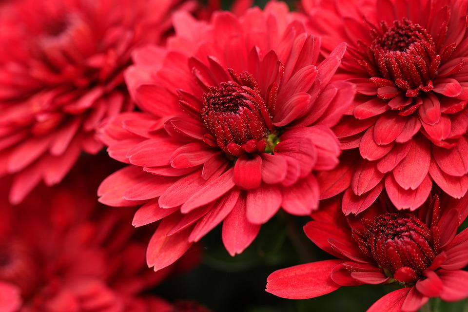 Chrysanthemums, Flowers, Red Flowers, Red Petals