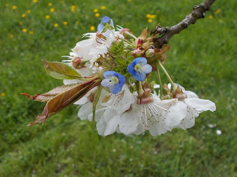 Spring Blossoms, Cherry Blossoms, Flowers, Close