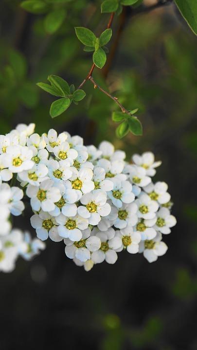 Flowers, Bush, Spring, Bloom, Flower, Close Up, White