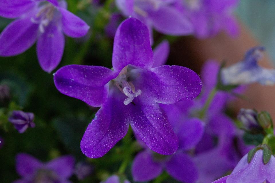 Violet, Flowers, Closeup