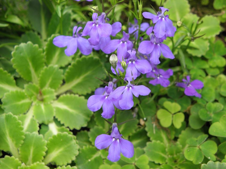 Lobelia, Flowers, Blue, Clovers