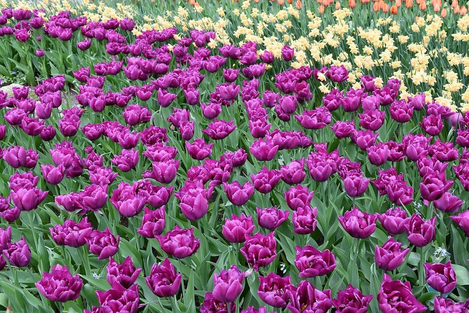 Flowers, Tulips, Amsterdam, Keukenhof, Blossom, Color