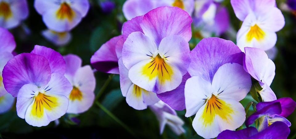 Pansy, Flowers, Purple, Nature, Spring, Color