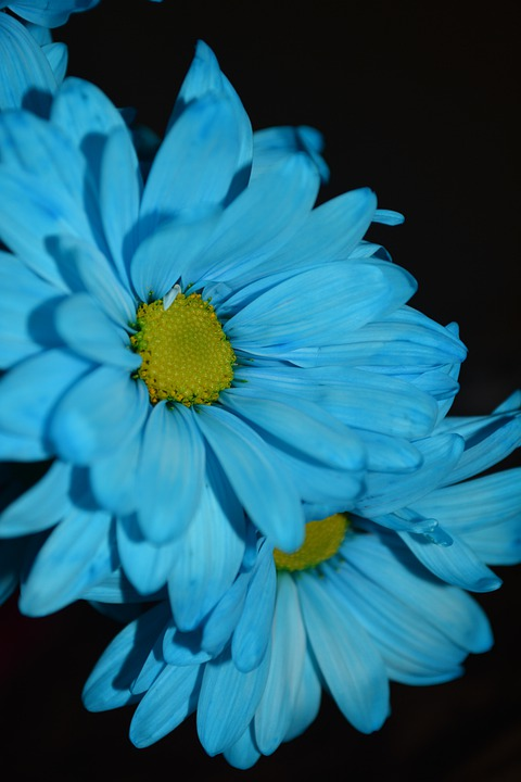 Macro, Blue, Daisies, Flowers, Colorful, Petals