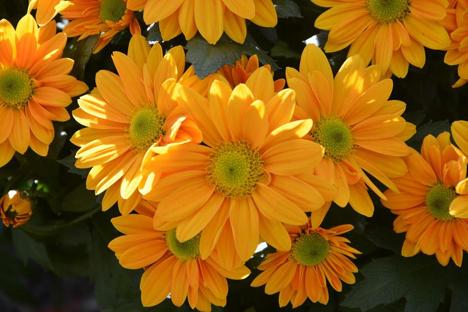 Free photo flowers colors mums yellow nature flowers flowers max pixel mums flowers colors yellow flowers flowers nature mightylinksfo