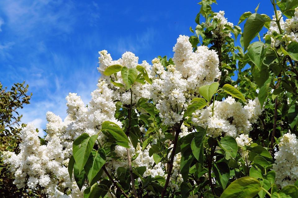 Lilac, Flowers, White, Ornamental Shrub, Common Lilac