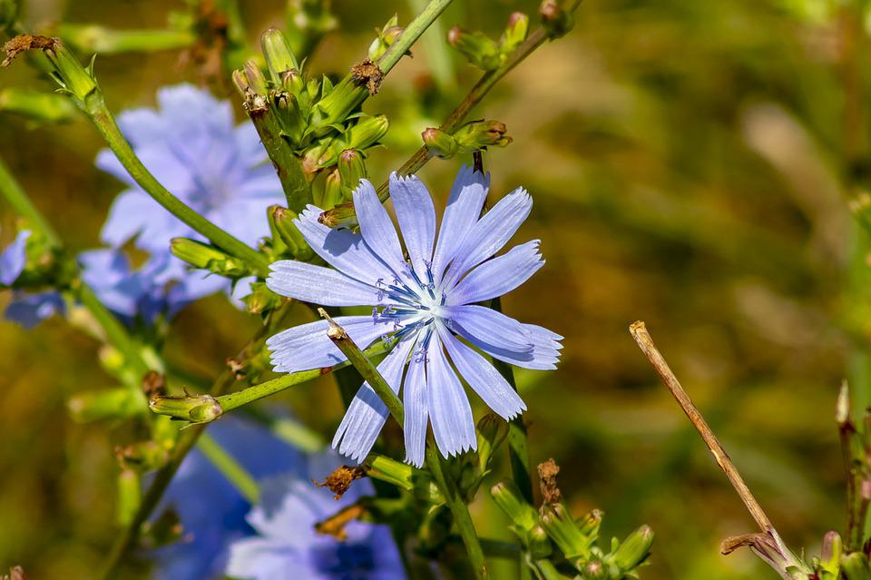 Cornflower, Meadow Flower, Flower, Flowers, Plant