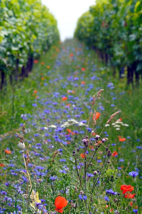 Flowers, Plants, Vineyard, Cornflowers, Poppies