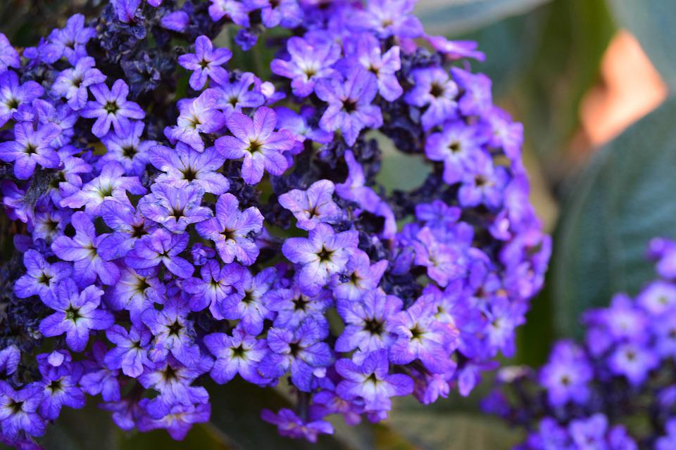 False Heather, Heather, Flowers, Cuphea Hyssopifolia
