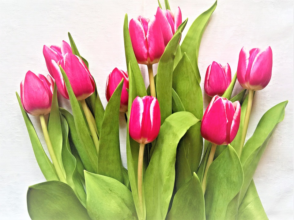 Tulips, Flowers, Tulip Bouquet, Cut Flowers