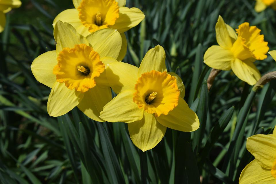 Free Photo Flowers Daffodils Plant Nature Spring Flowers Max Pixel