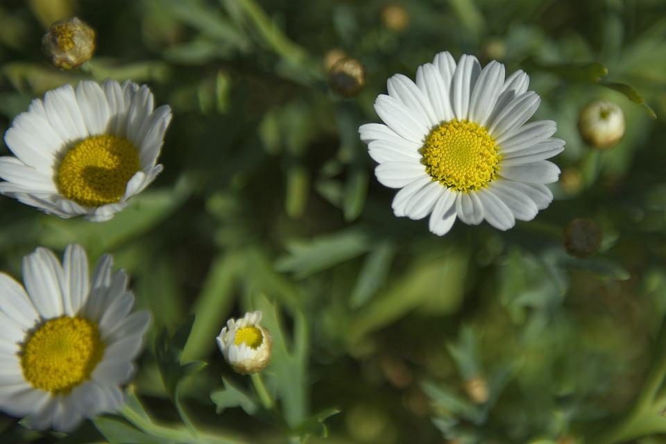 Daisies, Flowers, Summer, Meadow Margerite, Of Course