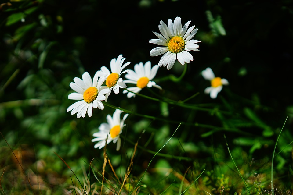 Meadows Margerite, Daisies, Flowers, White