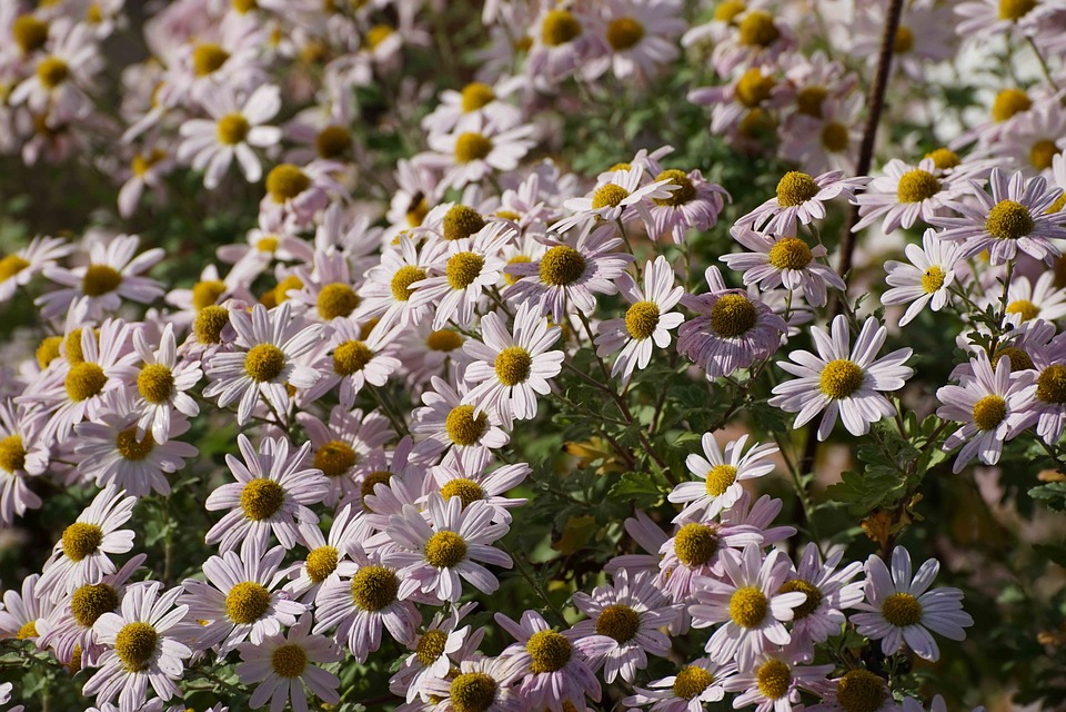 Daisies, Flowers, Nature, Autumn