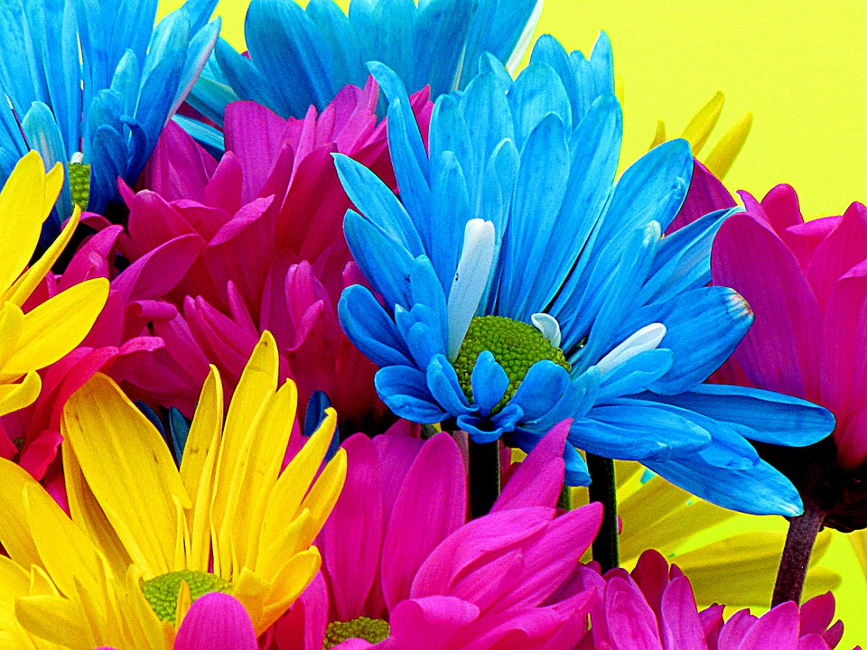 Flowers, Daisies, Daisy, Bloom, Petals, Nature, Blue