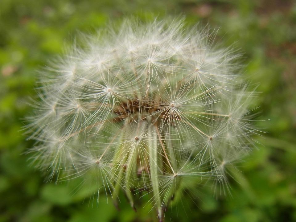 Dandelion, Fluff, Flowers, Wild Grass, Close Up